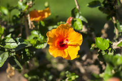 Orange flower of a hibiscus. Orange flower against the background of greens Royalty Free Stock Photo