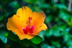 Orange flower Hibiscus Royalty Free Stock Photo
