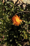 Orange flower on ice plant ground cover Royalty Free Stock Image