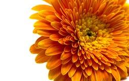 Orange flower isolated Stock Photo