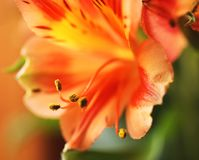 Orange flower and its anthers. Beautiful orange flower from the bouquet. Close up photography of anthers and the pollen Stock Photos