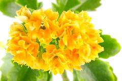 Orange flower kalanchoe Royalty Free Stock Photos