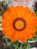 Orange flower and leaves. An orange flower in the garden. Chrysanthemum bright orange and leaves around Stock Photos