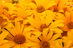 Orange flower like a daisy Stock Image