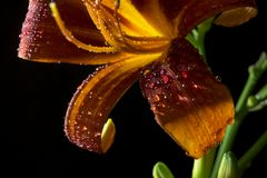Lily flower on a black background 5. Orange flower lily on a black background with drops. All parts of the flower are clearly visible Royalty Free Stock Images