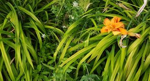Orange flower. An orange lily style flower taken with long leaves stock photography
