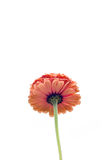 Orange flower. Lonely orange flower on the white background with the long stem Stock Photography