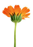 Orange flower with long green stem isolated Stock Photos