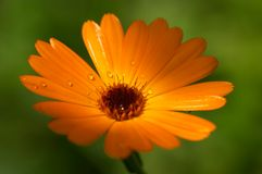 Orange flower macro. Closeup of orange flower (Calendula stock images