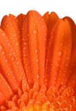 Orange Flower Macro Royalty Free Stock Image