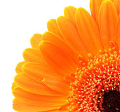 Orange flower. macro. Orange flower on a white background royalty free stock photos