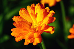 Orange flower macro. Drops race on the orange flower in the afternoon Stock Image