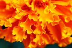 Orange flower. Macro photo with petals of orange flower Stock Image