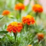 Orange flower marigold Stock Image