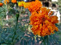 Orange flower. Marigold diwali festival decoration royalty free stock photos