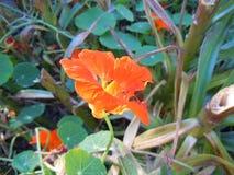 Orange flower Nasturtium. Royalty Free Stock Image
