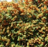Orange flower natural fence. Bloomed orange flower natural fence Stock Image