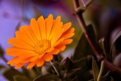Orange Flower. With blurry background Stock Photography