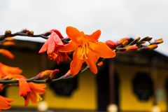 Orange flower. In front of the municipality of san lucas toliman solola guatemala Stock Photos