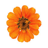 The orange flower with orange stamens Royalty Free Stock Photos