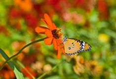 Orange flower in pair with Monarch butterfly Stock Image