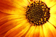 Orange flower with petals and pollen Stock Photos