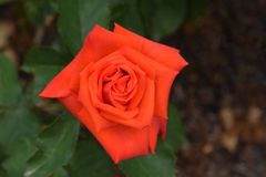 Prominent Orange Rose Flower. Orange flower petals of a Prominent variety Hybrid Rose flower royalty free stock images