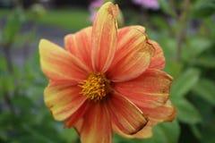 Orange flower planted in old coal Truck. Treeton stock image