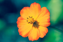 Orange flower of the poppy family Stock Photos