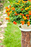 Orange flower on a pot with green background Stock Photos