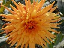 Orange flower. Prety orange flower Stock Image