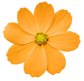 Orange flower Primula.  white isolated background with clipping path. Closeup.  no shadows. yellow center. Royalty Free Stock Photos