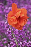 Orange flower with purple flowers behind Royalty Free Stock Photography