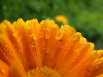 Orange flower after a rain. Spring, summer, wet, yellow Royalty Free Stock Images