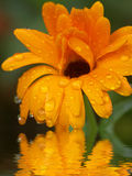 Orange Flower Reflected in Water. Orange Flower Refelction Rising From Water stock photo