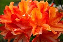 Orange flower rhododendron on the garden. Big orange flower rhododendron on the garden Stock Photo