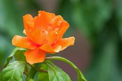 Orange flower of Rose cactus, also called Wax rose, leafy cactus with blurred background. Closeup orange flower of Rose cactus, also called Wax rose, leafy stock image