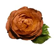 Orange  flower  roses  on a white  isolated background with clipping path  no shadows.  Rose with green leaves.  For design.   Clo. Seup.  Nature Royalty Free Stock Images