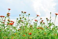 Orange flower  sky background Royalty Free Stock Images