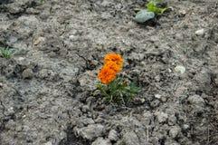 orange flower on soil Royalty Free Stock Photo