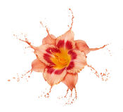 Orange flower splashes Stock Images