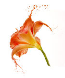 Orange flower splashes Royalty Free Stock Image
