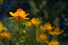 Orange flower summer Stock Image
