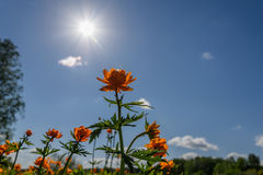Orange flower sun sky clouds. Beautiful bright background of orange flower and sun on a background of blue sky and clouds Stock Photography