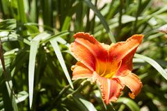 Orange Flower Surrounded by Green. Bright orange flower in full bloom standing out against a green grassy background Stock Photo