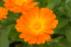 Orange flower surrounded by green leaves and flowers Royalty Free Stock Image