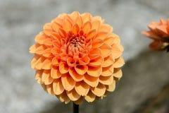 Orange flower. An orange flower in terrain Royalty Free Stock Photo