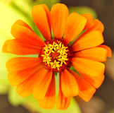 Orange flower (Top view ) color Royalty Free Stock Image