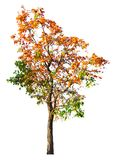 Orange flower tree isolated on white background with clipping pa. Th Stock Image