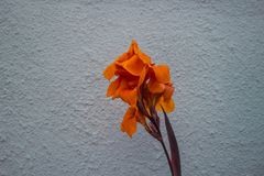 Orange flower. Tropical plant with one Stock Photos